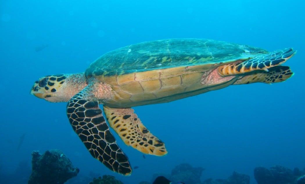 Sini kaplumbağası