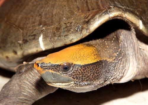 orta amerika nehir kaplumbağası