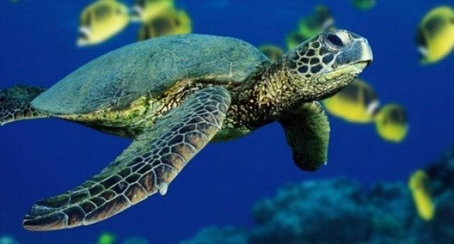 yeşil kaplumbağa